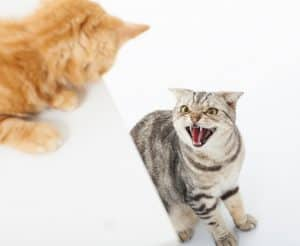 Pheromones for Cats Side Effects