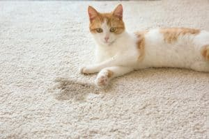 Can Cat Pee Cause Mold