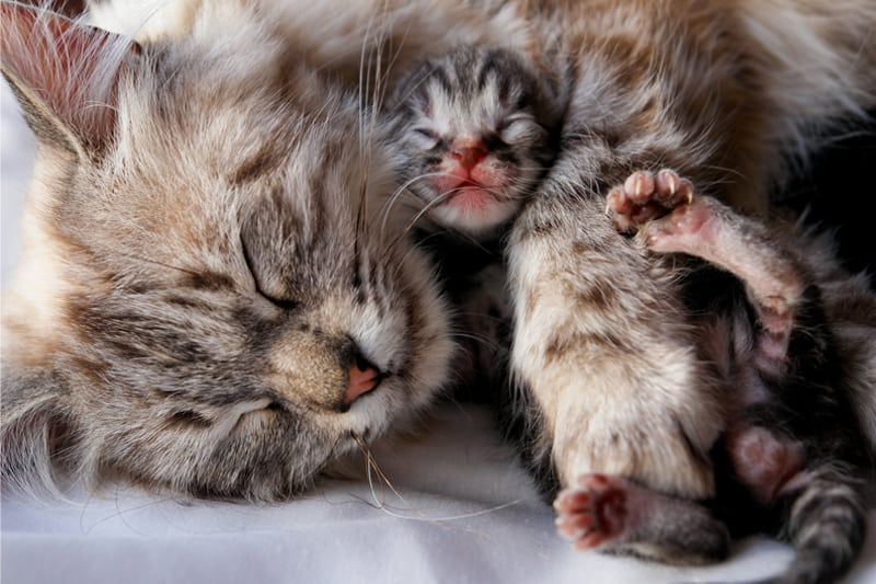 Do Cats Eat Their Kittens