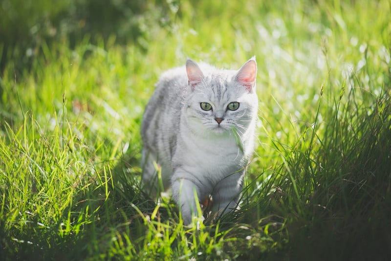 Does Cat Urine Kill Grass
