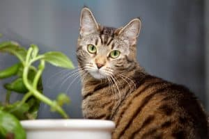 How Long Do Tabby Cats Live