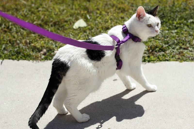 Is Walking A Cat On A Leash A Bad Idea