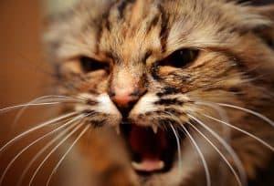 Cat Hissing At New Cat