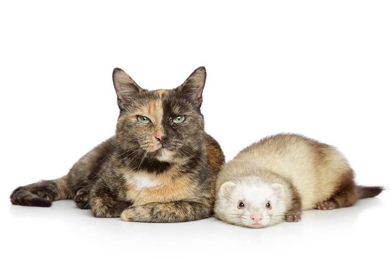 Do Cats And Ferrets Get Along