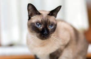 Do Siamese Cats Get Along With Other Cats