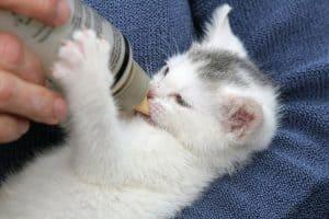 Homemade Kitten Formula
