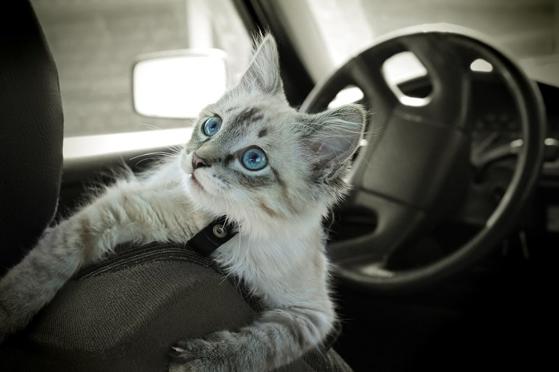 How To Travel With Cats In A Car Long Distance?