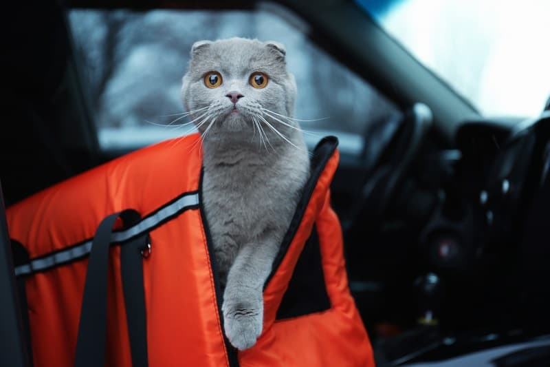 How to Calm a Cat in a Car?