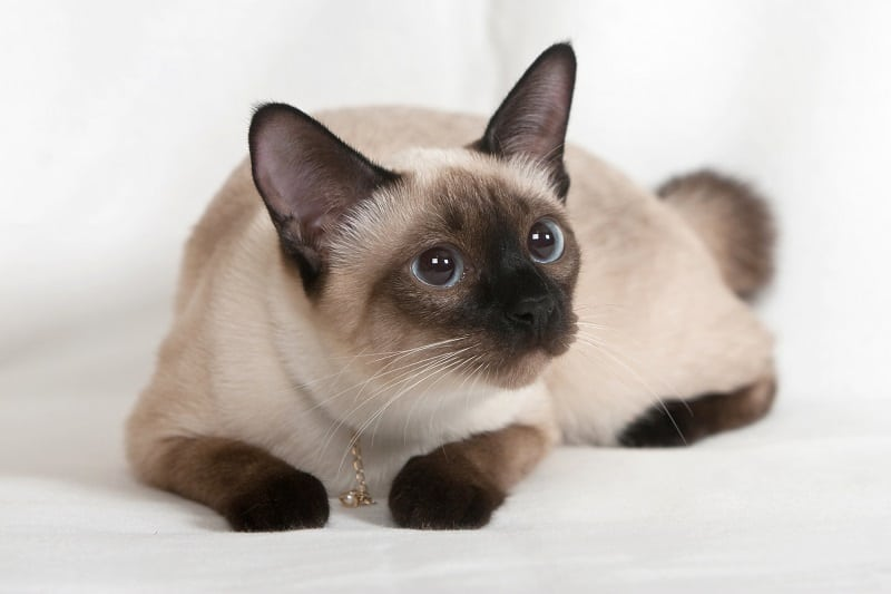 Siamese Cat Personality Traits
