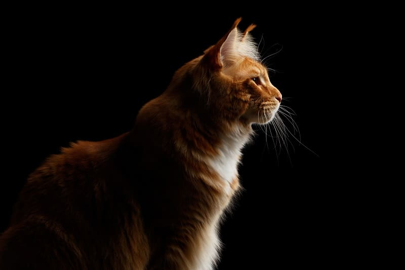 Can Cats See in Pitch Black?