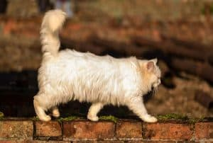 Can I Take My Persian Cat for a Walk