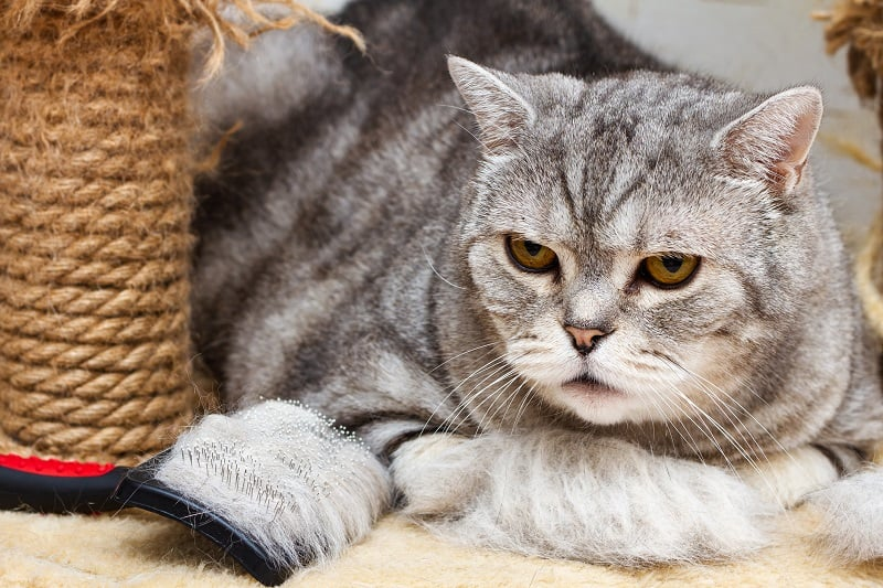 Do Cats Shed More When Stressed?