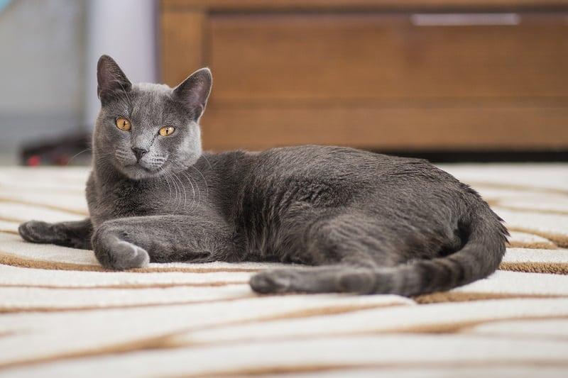 Rusian Blue Cat