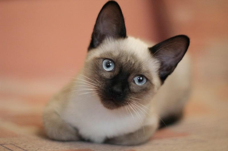Siamese Manx Cats