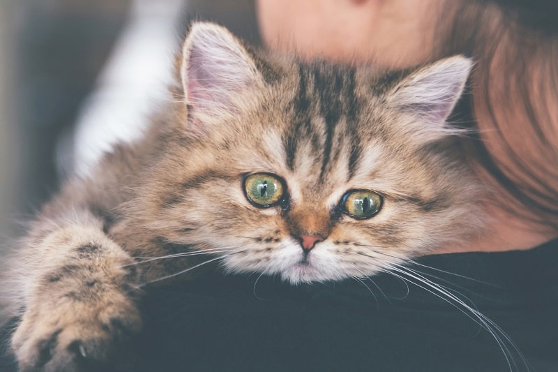 Why Do Cats Cry Like Babies