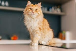 Are All Orange Tabby Cats Male