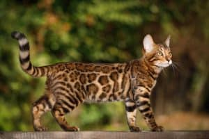 Are Bengal Cats Legal