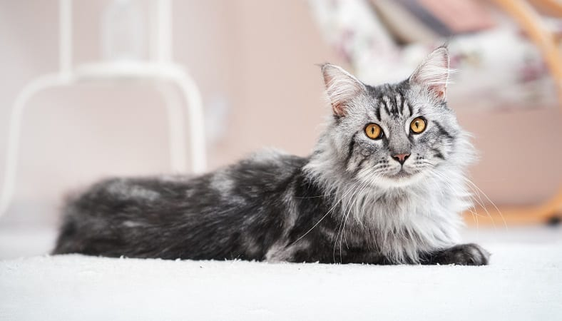 Are Maine Coon Cats Aggressive?