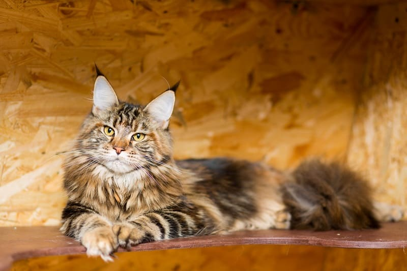 Are Maine Coons Hypoallergenic?