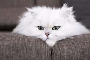 Are Persian Cats Hypoallergenic
