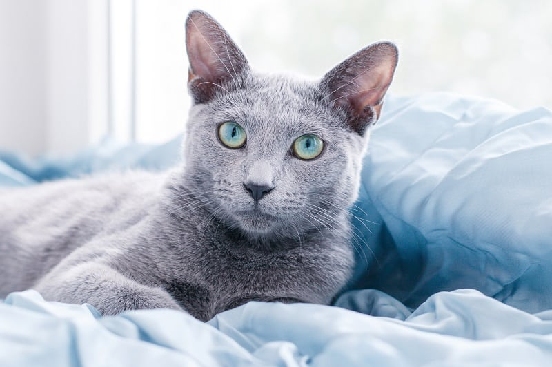 Are Russian Blue Cats Hypoallergenic?
