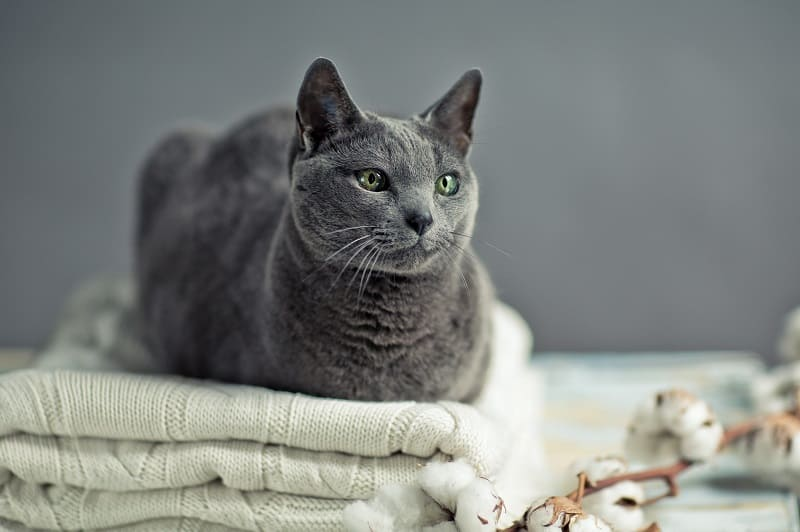 Are Russian Blue Cats Rare?