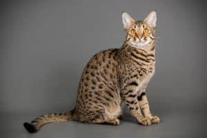 Are Savannah Cats Dangerous