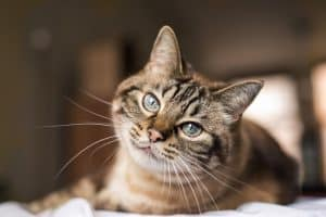 Are Tabby Cats Hypoallergenic