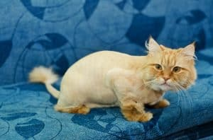 Can I Shave My Cat To Get Rid Of Fleas