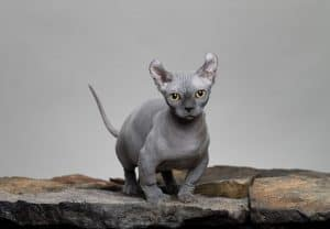 Can You Be Allergic to Hairless Cats