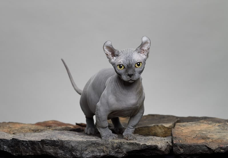 Can You Be Allergic to Hairless Cats?