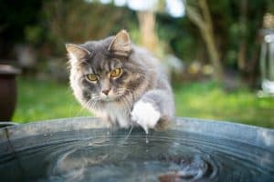 Do Maine Coons Like Water