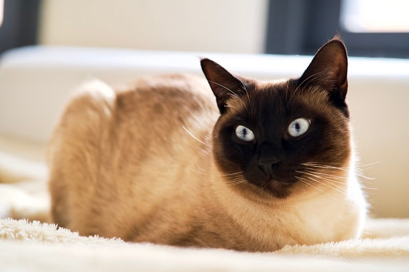 Do Siamese Cat Shed