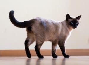 How Big Do Siamese Cats Get