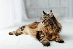 How Long Until Maine Coon Is Full Grown