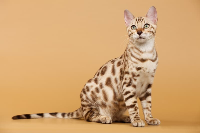 How To Tell If Your Cat Is A Bengal Mix?