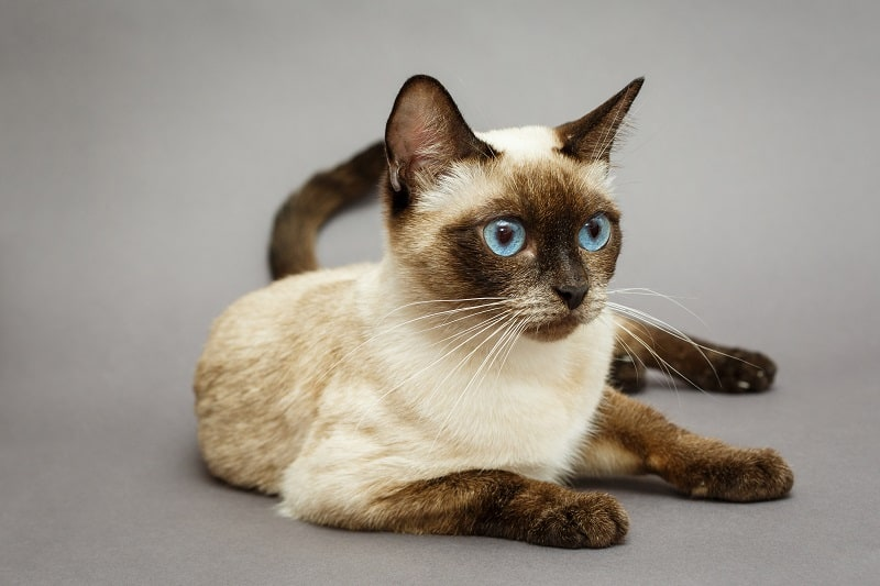 How To Tell If Your Cat Is Part Siamese?
