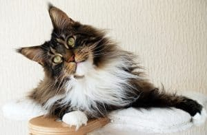 Is My Cat Part Maine Coon?