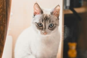 Lynx Point Siamese