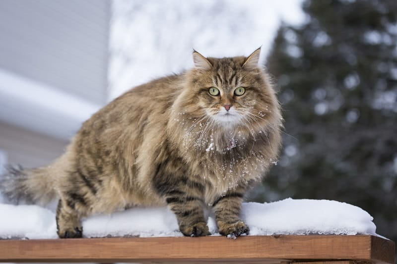 Maine Coon Vs. Siberian