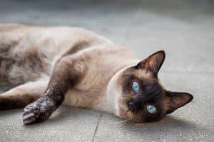 Siamese Cat Lifespan