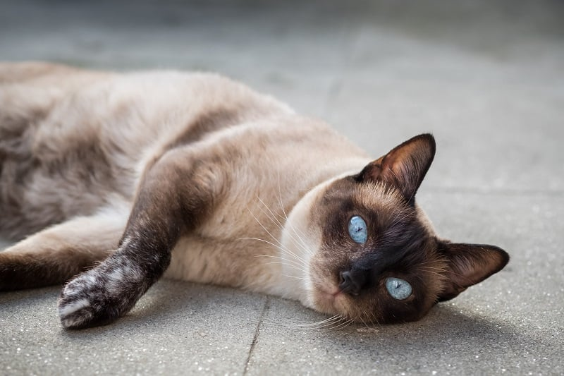 Siamese Cat Lifespan