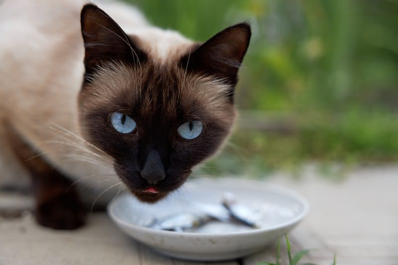 What Do Siamese Cats Eat?