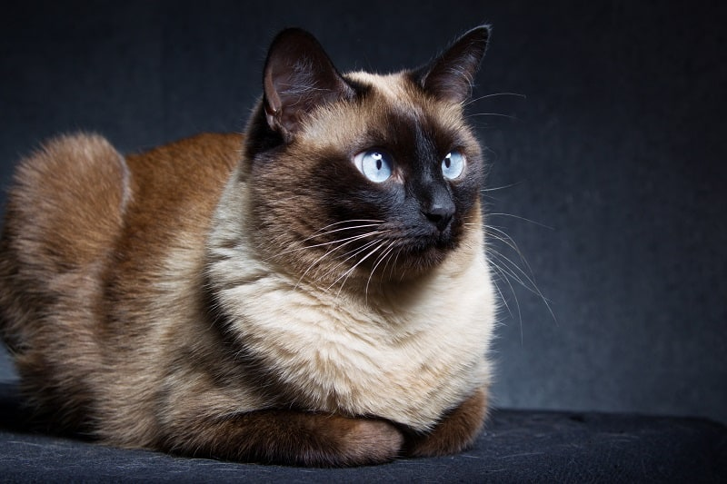 Where Do Siamese Cats Come From?