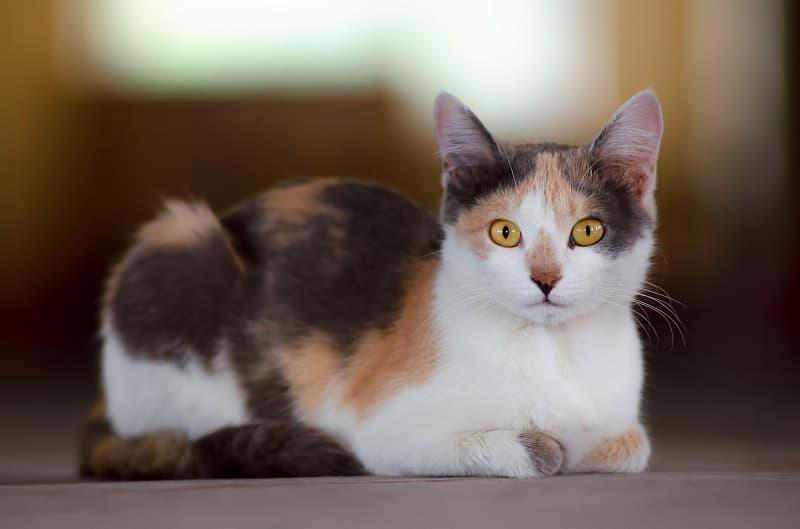 Are Calico Cats Hypoallergenic