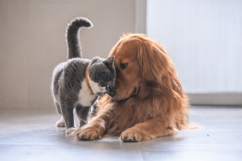 Are Golden Retrievers Good With Cats?