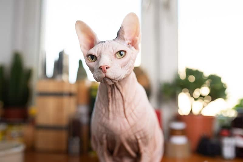 Are Sphynx Cats Hypoallergenic