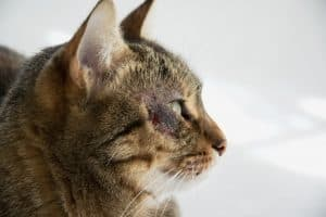 Cat Hair Loss Around Eyes