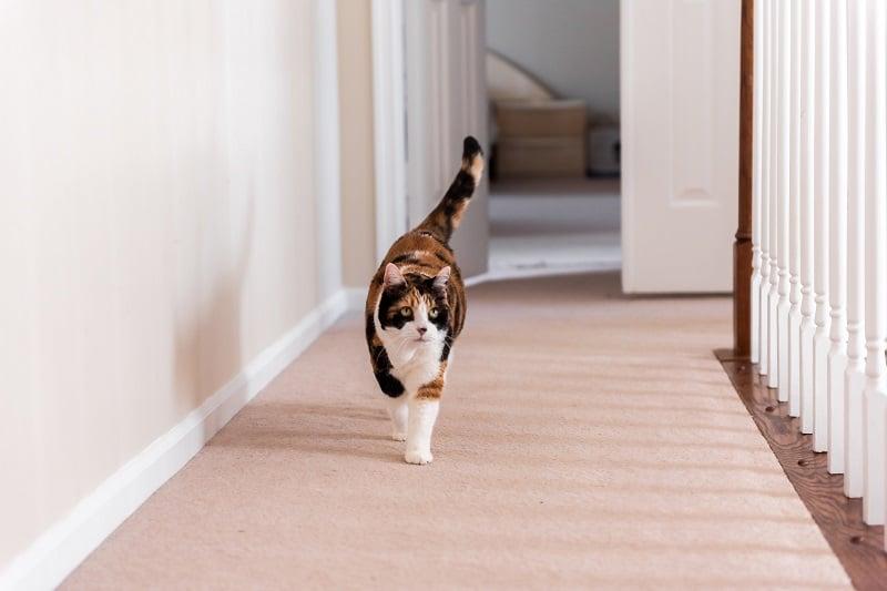 Cat Pacing Around The Room