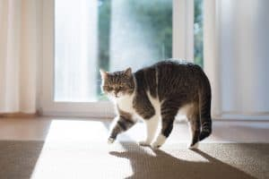 Cat Walking in Circles and Meowing